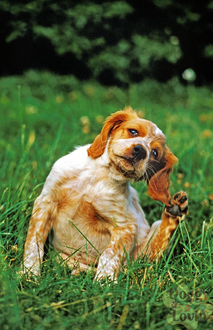 Dog on grass scratching ear needing flea treatments