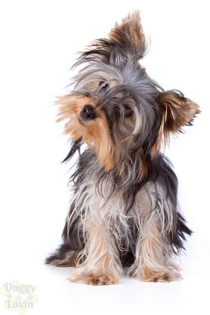 Small yorkie dog on white background